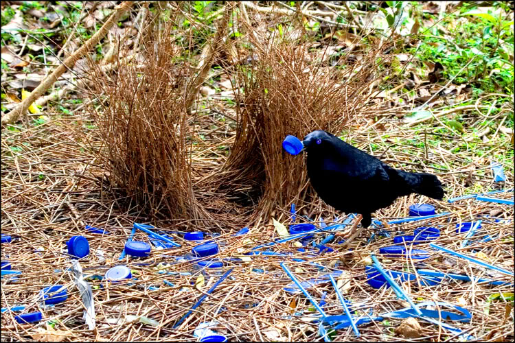 crow collecting blue pucks
